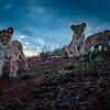 3 cubs Lewa updated