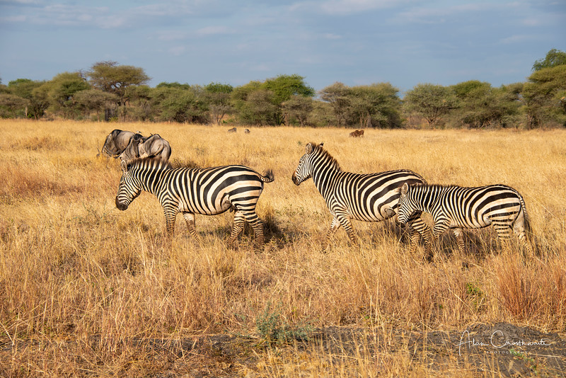 Zebra and Wildebeests