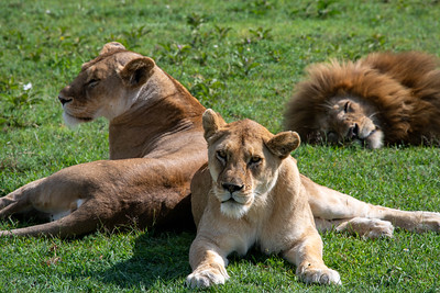 Lions Resting...or are they?