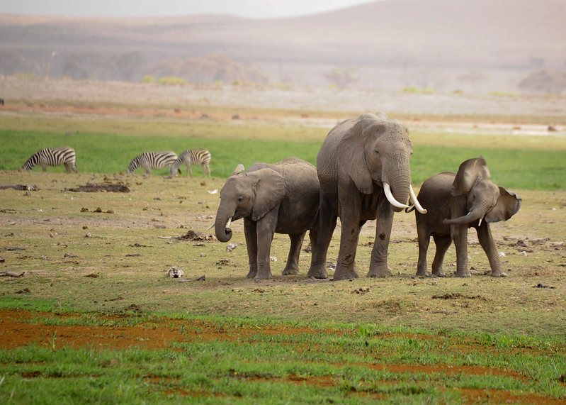 After a 22 month gestation, the female elephant finally gives birth to a 100 kg calf. Females normally give birth every 5 years. The calves can almost immediately walk, but they are dependent on their mother for a few years after birth. The mating system of the African bush elephant is known as androgynous.l This type of mating includes females and males both pairing with several others at one time.