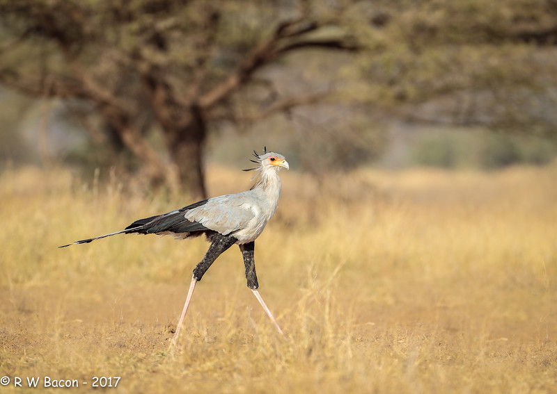 South Rift Secretary Bird