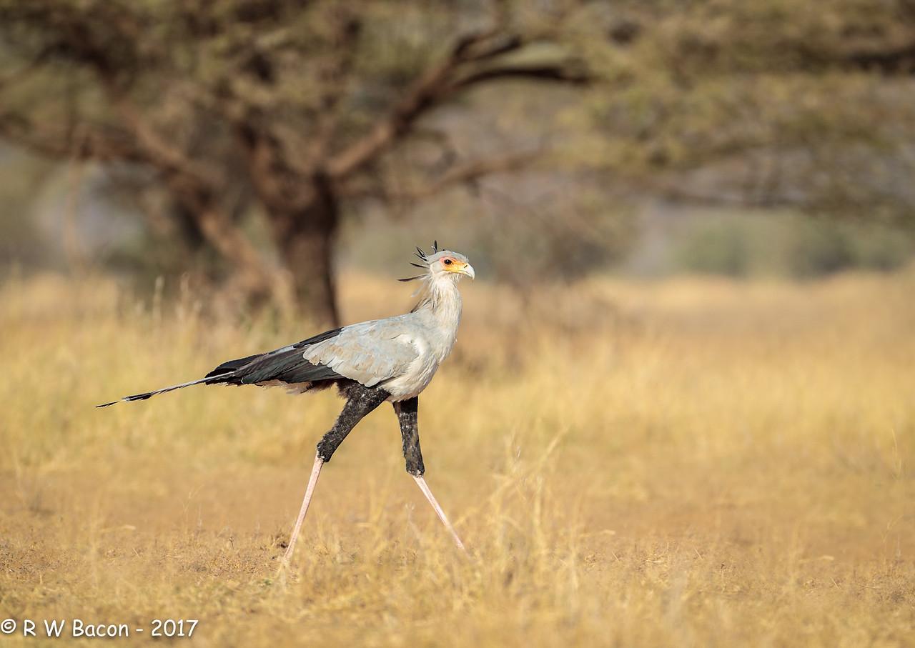 South Rift Secretary Bird