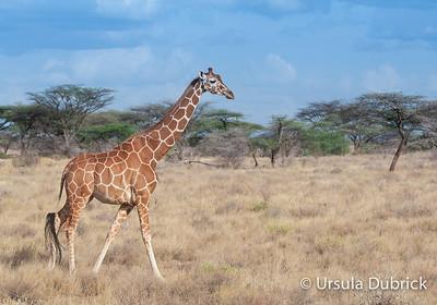 Giraffe - Masai Mara, Kenya