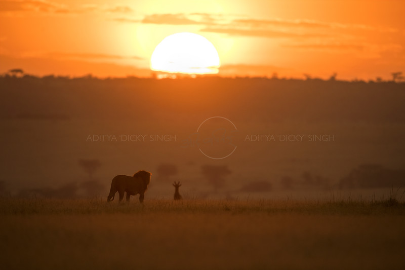 Silhouette of a male lion walking across the grasslands of in Masai Mara Wildlife Refuge in Kenya, while a Hartebeest watches