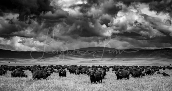 Ngorogoro Crater Buffalo 1x2