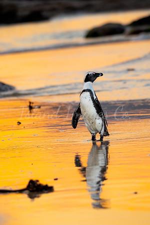 Penguin Gold