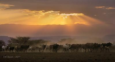 Masai Cattle Sunset