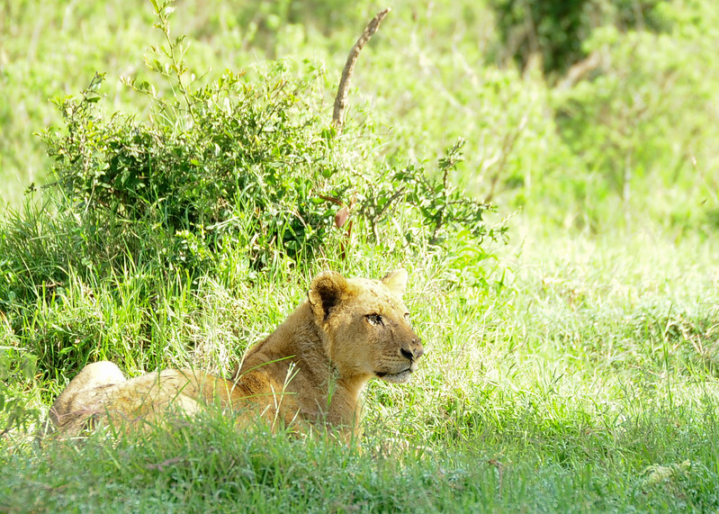 Prides of lions can consist of up to 30 animals, however the average pride consist of around fifteen lions; including several adult females, up to four males (known as a coalition) and their cubs of both sexes.