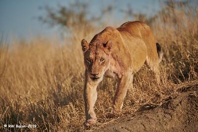 Ngala Lioness