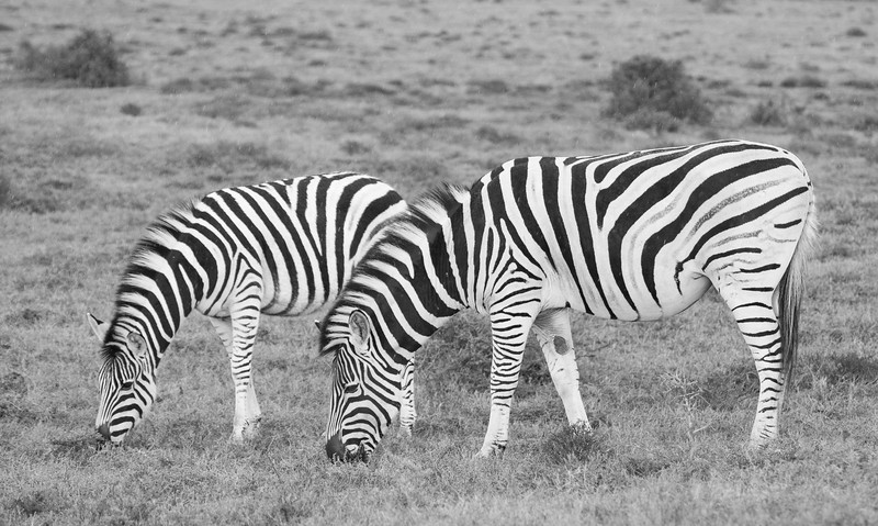 Zebras (black and white) Addo Elephant National Park, South Africa