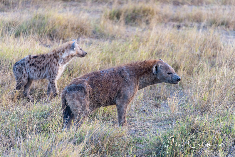 Hyenas on alert