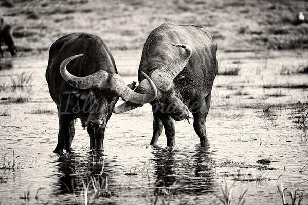 Two Bulls bnw