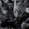 Leopard cub portrait 5