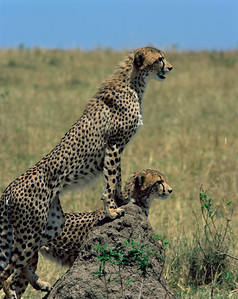 Kenya, Masai Mara National Reserve / Cheetahs, Acinonyx jubatus, searching for game from termite mound. 804V1