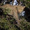 Mother leopard in a tree-1