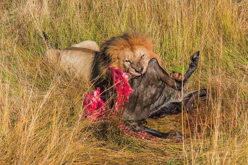 Lion Eating Wildebeest