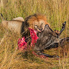 Lion Eating Wildebeest