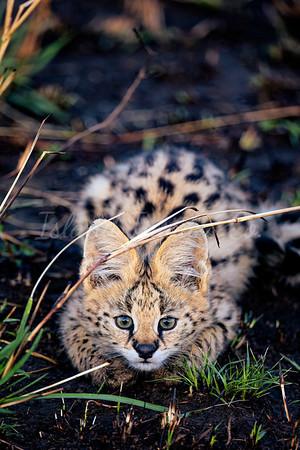 Hide and Seek Serval Cat