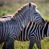Luesistic Zebra 3