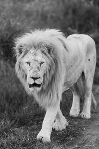 20170104_Lion_011