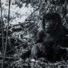 Uganda Gorillas bnw