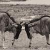 Wildebeest bnw