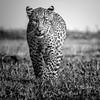 BNW Leopard cub