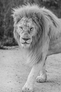 20170104_Lion_013