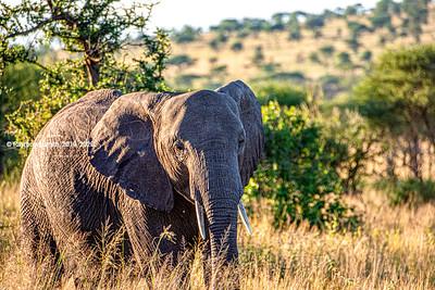 BIG! Elephant