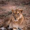 Lioness copy