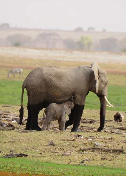 Elephants are very social creatures. They sometimes hug by wrapping their trunks together in displays of greeting and affection. They also use their trunks to help lift or nudge and elephant over an obstacle, rescues a fellow elephant stuck in the mud, or to gently raise a newborn  elephant to its feet. Just as a human baby sucks its thumb, an elephant calf often sucks its trunk for comfort.