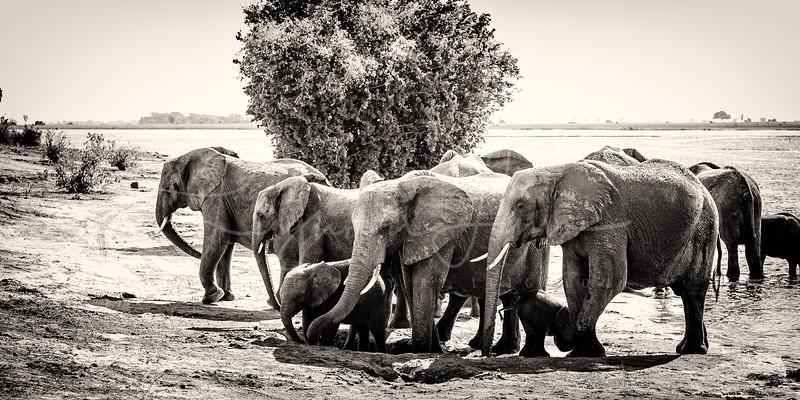 Chobe Elephant Pano 1x2