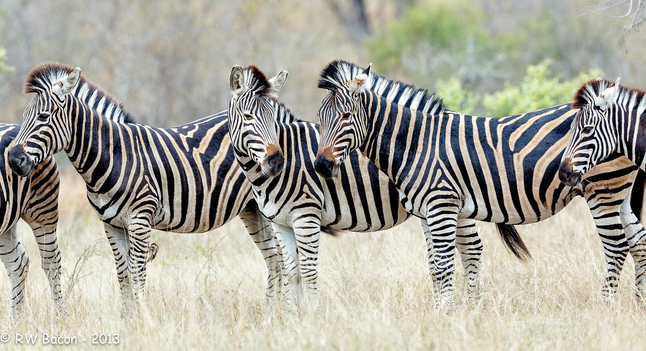 Zebra-scape