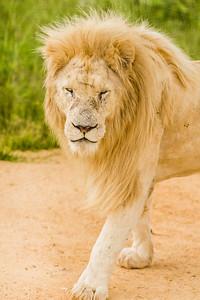 20170104_Lion_012