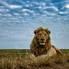 Wide angle male lion