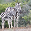 Mother and calf zebra, Addo Elephant National Park, South Africa