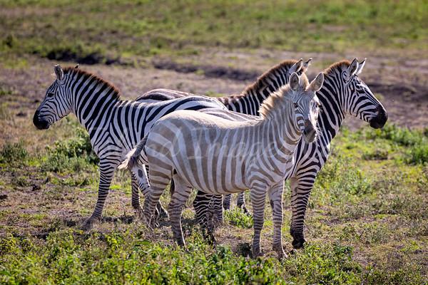 Luesistic Zebra