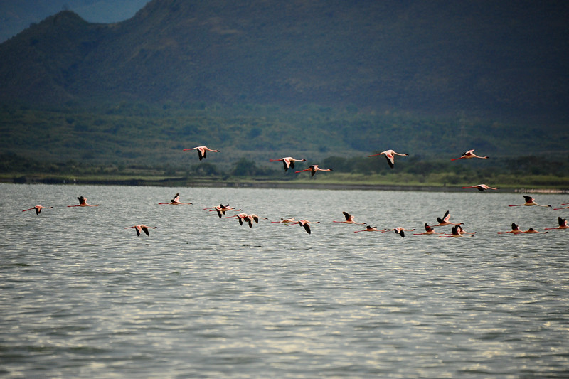 These pink flamingo had taken flight while resting at Lake Nakuru. The numbers of birds at this lake was amazing.