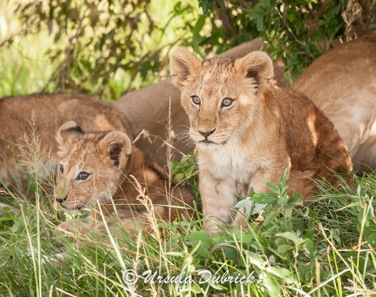 Curious Lion Cub - Kenya