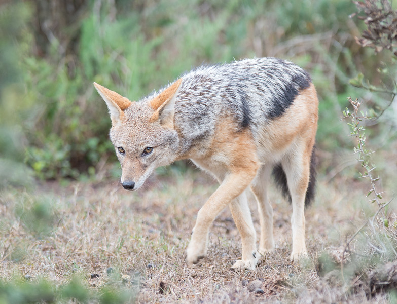 Black-backed Jackal, Addo Elephant National Park, South Africa