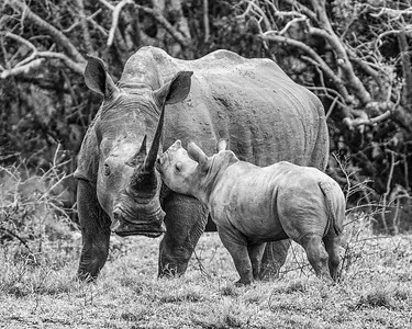 Rhinoceros with Calf