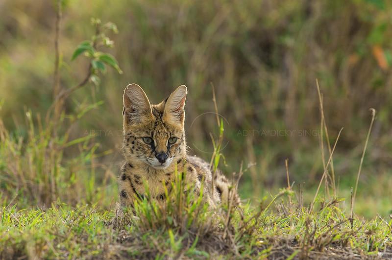 Serval Cat in grasslands