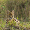 Serval Cat in grasslands