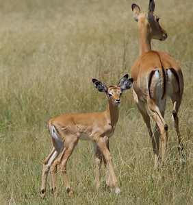 Baby Impala with Four Ears...