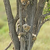 Cheetah cubs in on a tree trunk in the grasslands of Ndutu in Ngorongoro conservation area in north Tanzania, Africa