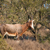 Blesbok ram, South Africa