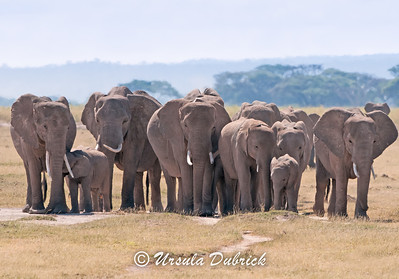 Elephant Herd - Amboseli National Park, Kenya