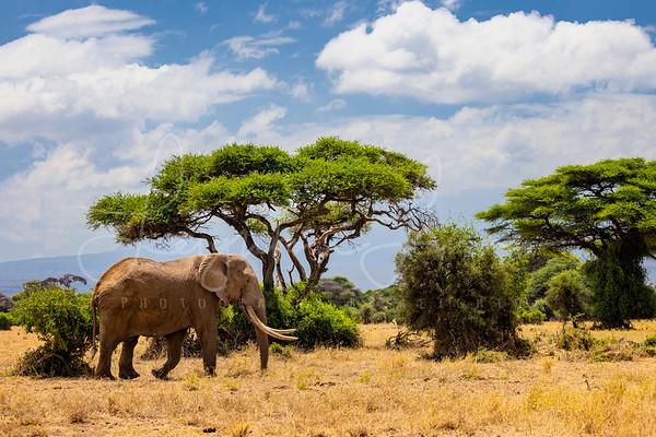 Big Tusker in Kenya book