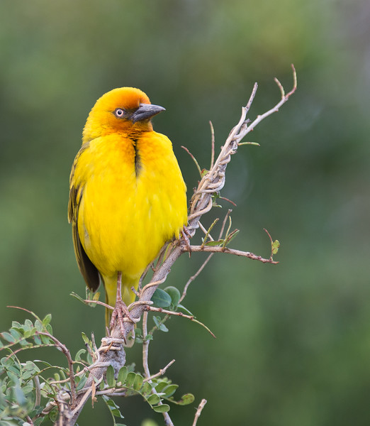 Cape Weaver, South Africa