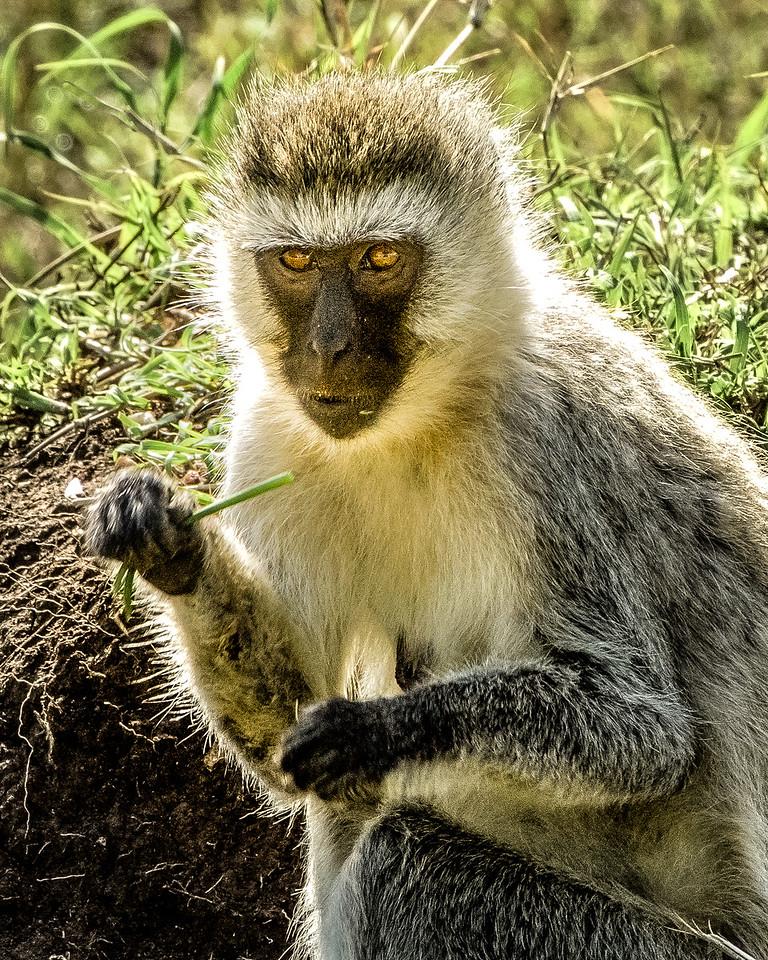 vervet monkey 9456